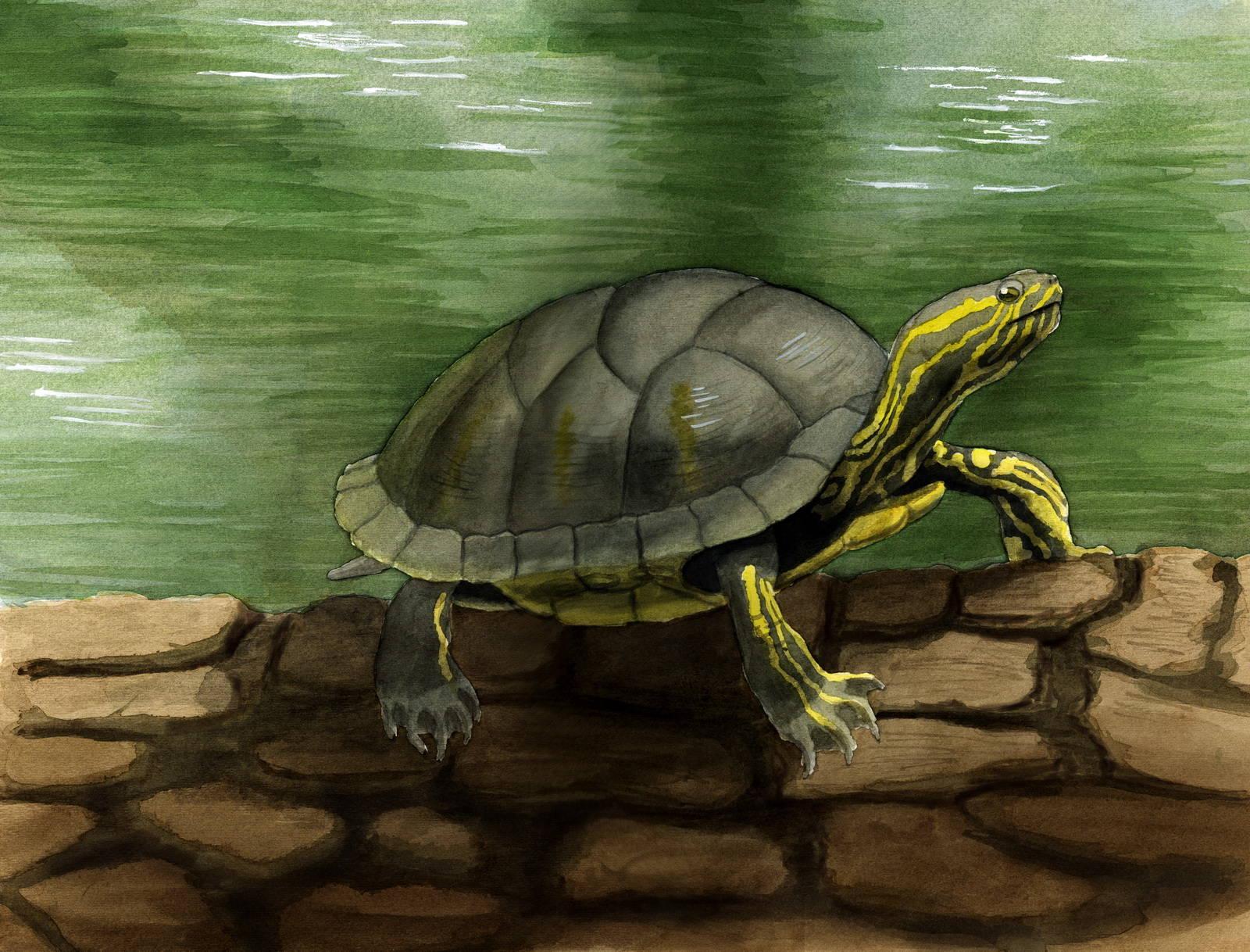 Нарисованная красноухая черепаха