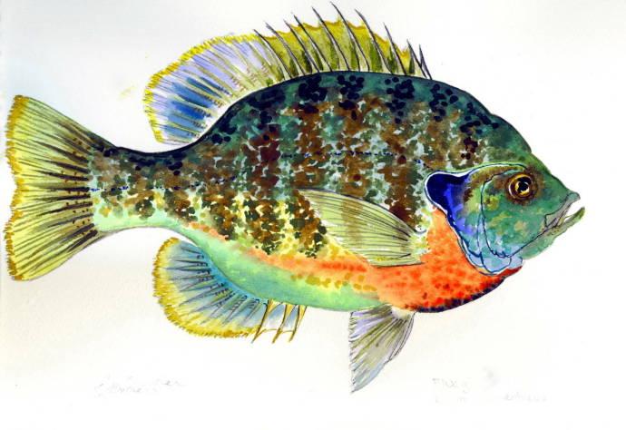жабры рыб картинки